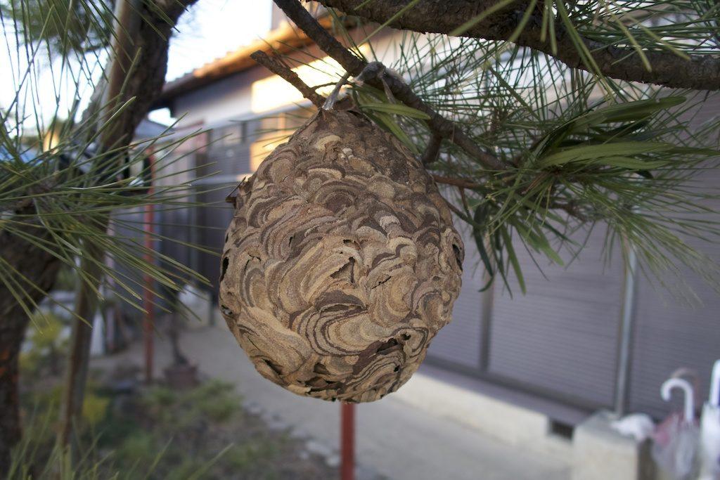 nid de frelons asiatique destruction